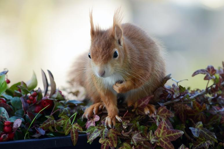 Veverička sedí na kvetináči na balkóne.jpg